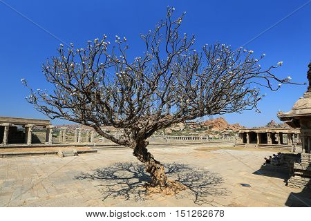 fansypansy tree at Vitthala Temple in Hampi Karnataka state India.