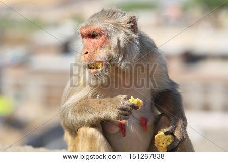India Rajasthan Jaipur indian monkeys eating corn taken in Galata