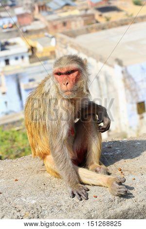 India Rajasthan Jaipur indian infant Macaque monkeys taken in Galata