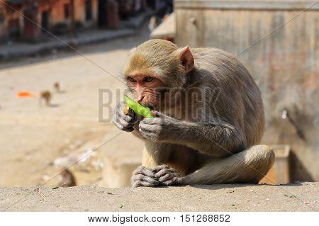 India Rajasthan Jaipur indian monkeys taken in Galata