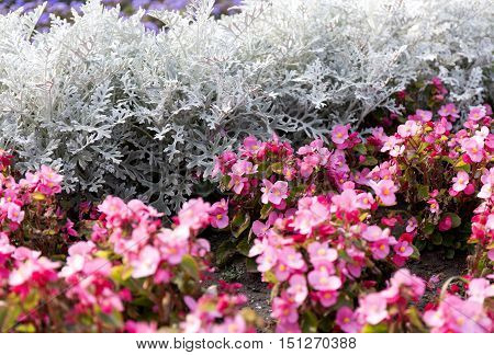 Cineraria maritima silver dust and pink flowers. Soft Focus Dusty Miller Plant. Background Texture.