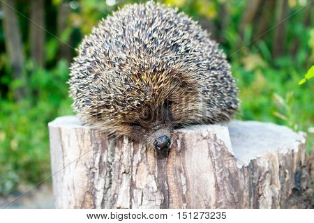 The young hedgehog sitting on the log