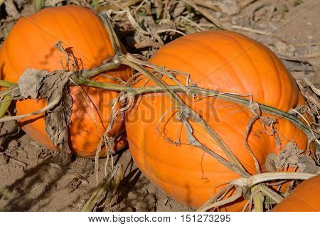 Autumn orange pumpkins growing on the vine in agricultural field