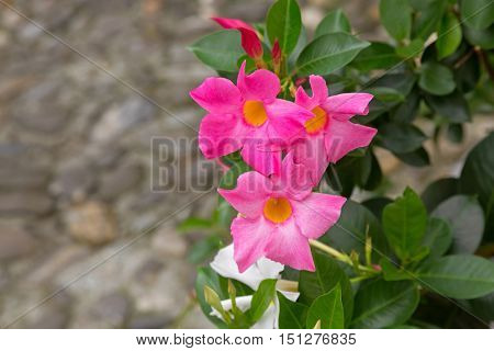 Closeup of Mandevilla, Rocktrumpet flowers with pink petals and yellow center blooming in Italy