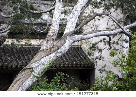 A white barked evergreen tree within Tongli Town in Jiangsu province China.