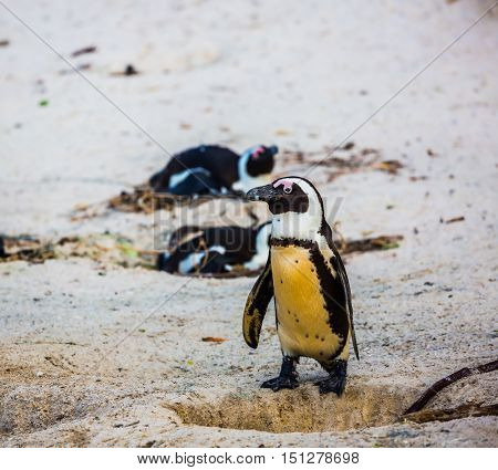 Penguin on coastal sand of the Atlantic Ocean. Boulders Penguin Colony, National Park Table Mountain. South Africa.