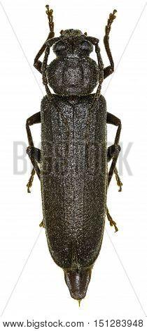 Dusky Longhorn Beetle on white Background - Arhopalus rusticus (Linnaeus 1758)