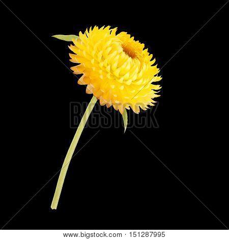 Strawflower With Stalk On A Black Background