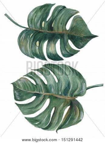 tropical Split Leaves Philodendron plant botanic watercolor painting on white background