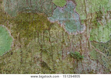 Close up Tree bark texture with moss and lichen