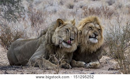 Two  free male lion brothers pulling faces