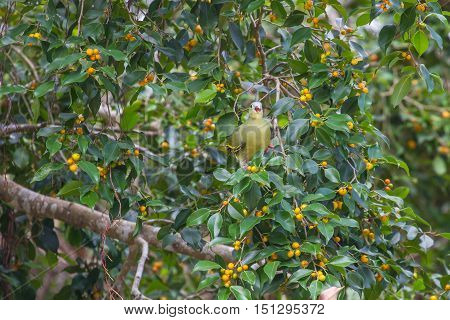 Thick-billed Green Pigeon (treron Curvirostra) In Nature