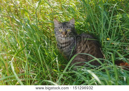 Young tabby tat looking with interest while hiding in summer grass