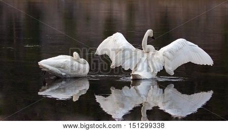 Pair of Trumpeter Swans reflectng their spreading wings in the Yellowstone River in Yellowstone National Park in Wyoming USA