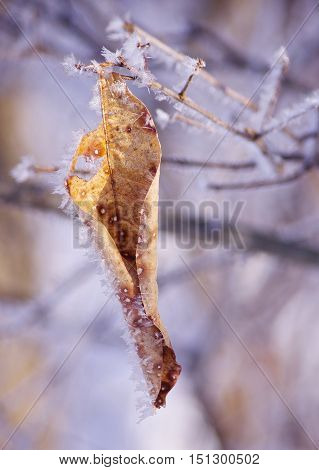 Frozen Patterned and Detailed Ice Crystals Form upon a withered fall leaf and branches.