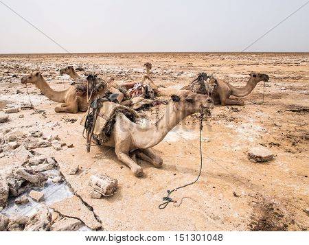 Dromedary camels used to transport amole salt slabs across the desert in the Danakil Depression in Afar region Ethiopia.
