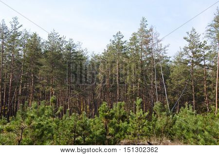 deep lush fir or softwood forest or wood with long high slim pine trees trunk and small green young growth sunny morning outdoor