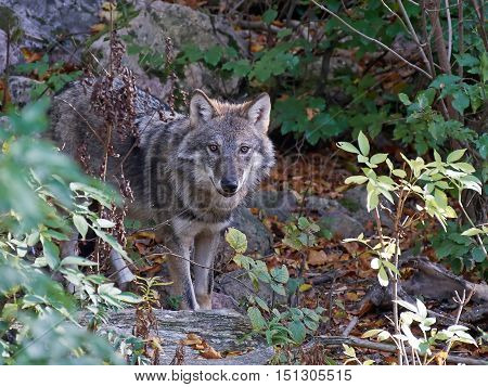 Grey wolf (Canis lupus) hiding in vegetation in its habitat