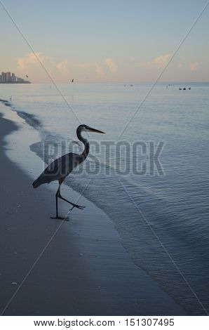 Dawn with a great blue heron bird walking into the water at the beach.