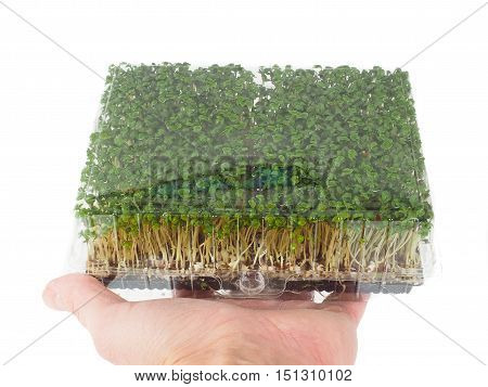 Person Holding A Plastic Tray Of Sprouting Green Watercress