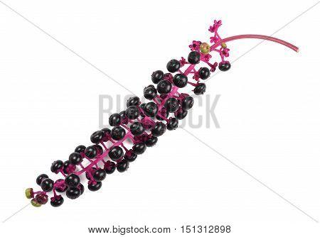Pokeweeds (phytolacca Americana)