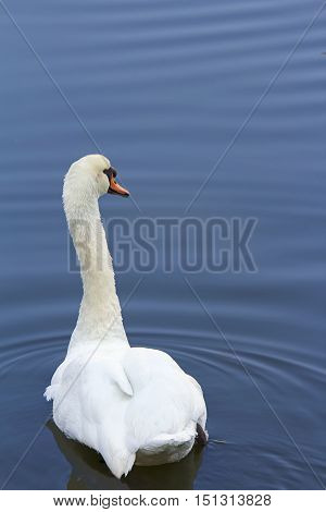 Beautiful White Swan Swimming In Lake. Swan In the wild.