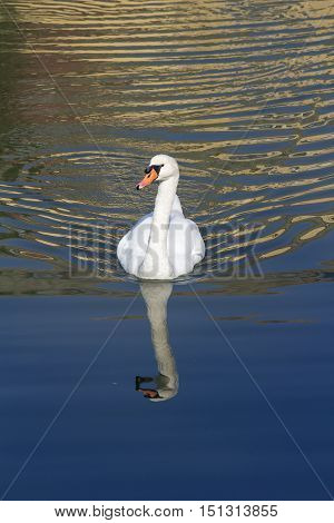 White swan floating on autumn blue pond. Swan In the wild.