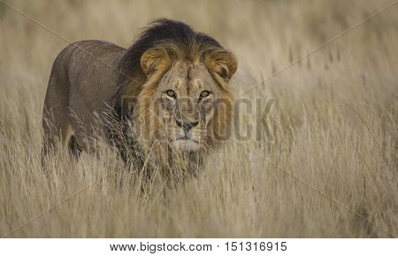 Beatiful male lion isolated in tall grass with eye contact