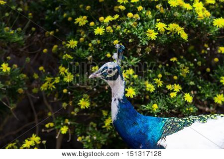 head of peacock with blue and white plumage on background of bush with yellow flowers
