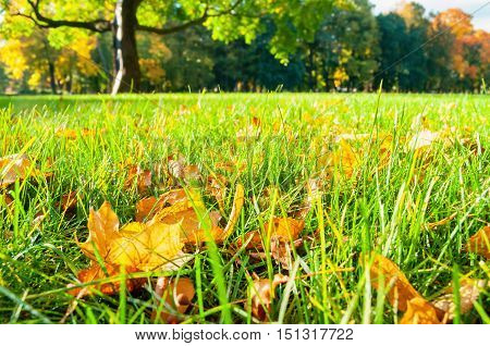 Autumn nature landscape. Autumn leaves on the foreground in the park. Autumn landscape in sunny autumn weather. Maple fallen autumn leaves in the park blurred background. .Focus at the autumn leaves.