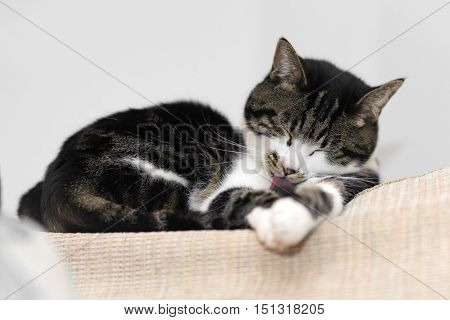 Tabby cat licking paws on a sofa