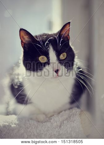 Portrait of a beautiful cat of a black-and-white color with yellow eyes.