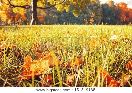 Autumn leaves on the foreground in the park in sunrise. Yellow and orange dry autumn maple leaves on the lawn in autumn park. Selective focus at the autumn leaves. Autumn leaves in sunshine