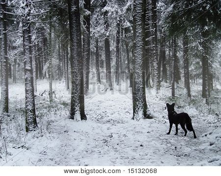 Black Dog Walking In Winter Forest