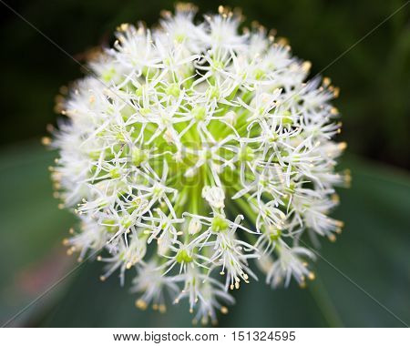 Close up of the blooming white ornamental onion (Allium)