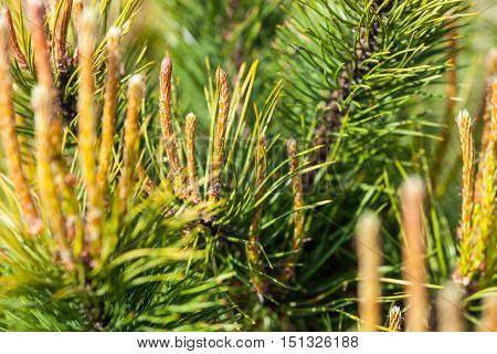 Scots pine (Pinus sylvestris) branches with young shoots