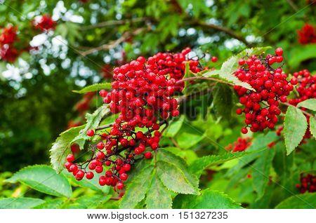 Red elderberry - closeup of elderberry on the branch in the garden. Nature landscape of elderberry