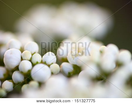 Tiny buds of rowan white flowers. Close up.
