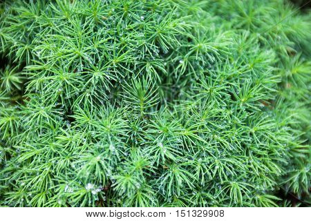 Branches of juniper the evergreen coniferous plant with needle-like leaves.
