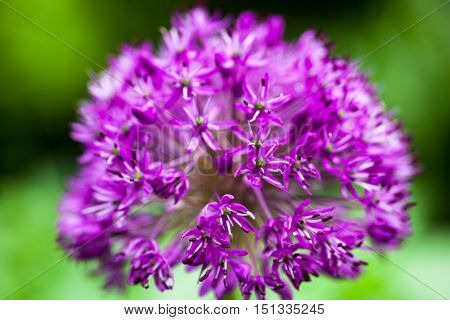 Close up of the blooming purple ornamental onion (Allium)