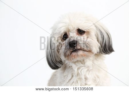 Cute fluffy white Havanese dog head shot portrait