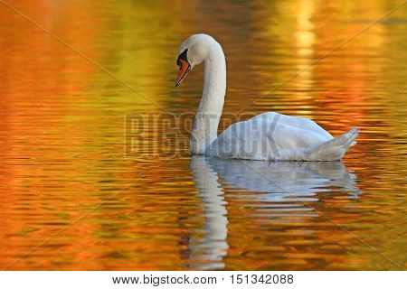 A mute swan (Cygnus olor) swimming on a pond at dusk in fall.
