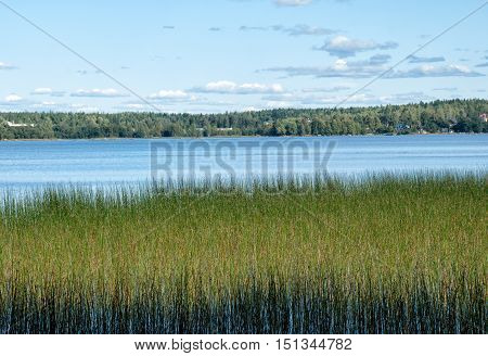 A small patch of reeds in the water