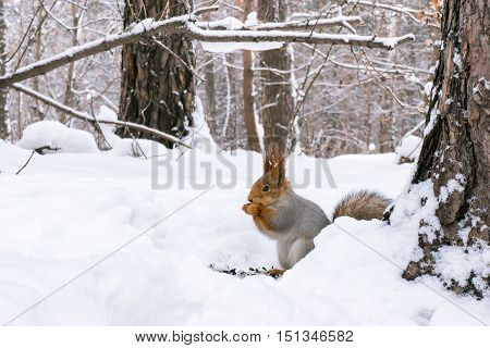 A Squirrel eating nuts on the snow in winter forest