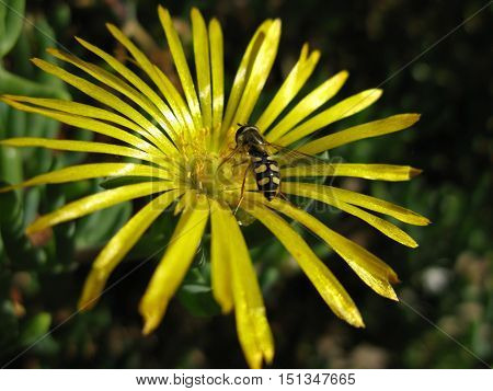A beautiful bene poliantee a yellow daisy