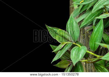 Close up beautiful wandering jew plant on black background