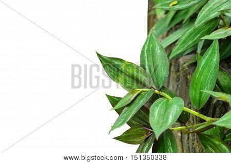 Close up beautiful wandering jew plant on white background