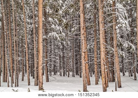 Lodgepole pine (Pinus contorta) forest in Yellowstone National Park with new snow in May