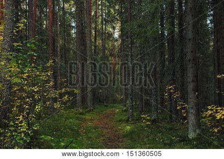 Forest path in the taiga beginning of autumn.