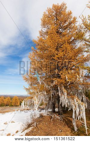 Larch decorated with white ribbons on the tradition of shamanism